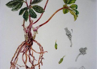 Elleboro o rosa di Natale | Acquarello su carta cm. 41x31