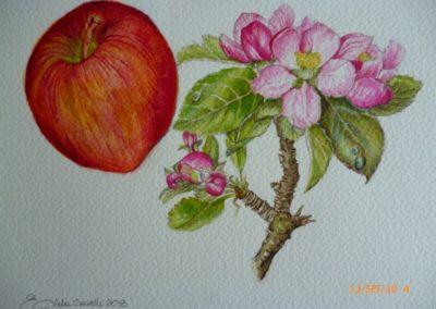 La mela e il suo fiore | Acquarello su carta cm. 15x20