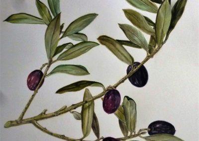 Olivo | Acquarello su carta cm. 41x31